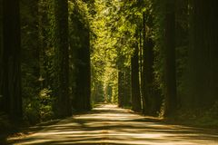 Giant Redwood Trees Road Royalty Free Stock Images