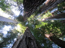 Giant redwoods in Northern California Royalty Free Stock Photos