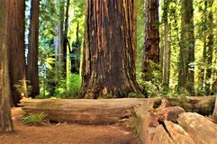 Giant Redwoods Royalty Free Stock Photography