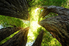 Giant Redwoods Reach Toward the Sky on a Sunny Day. Stock Images