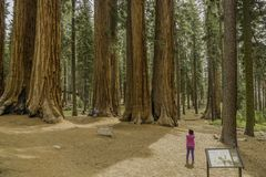 Giant Redwoods in Sequoia National Park stock photos