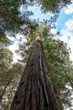 Giant Redwoods Royalty Free Stock Image