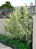 Giant Reed Grass - Arundo donax. Ornamental grass called Giant Reed Grass Arundo donax `Peppermint Stick Stock Image