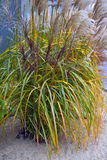 Giant reed grass Royalty Free Stock Images