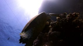 Giant reptile Hawksbill sea turtle Eretmochelys imbricata in Red sea. Relax underwater video about marine Cheloniidae stock video footage