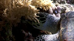Giant reptile Hawksbill sea turtle Eretmochelys imbricata in Red sea. Relax underwater video about marine Cheloniidae stock footage