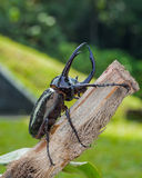 Giant rhinoceros beetle Stock Images