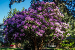 Giant Rhododendrons of Burien 1. The state flower of Washington grows big in Burien, Washington stock photography