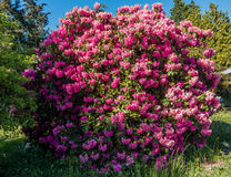 Giant Rhododendrons of Burien 2. The state flower of Washington grows big in Burien, Washington stock photo