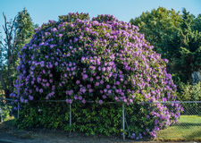 Giant Rhododendrons of Burien 4. The state flower of Washington grows big in Burien, Washington stock photo