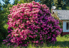 Giant Rhododendrons of Burien 3. The state flower of Washington grows big in Burien, Washington royalty free stock photo