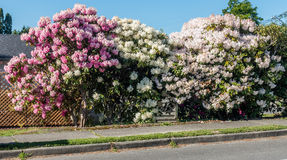 Giant Rhododendrons of Burien 6. The state flower of Washington grows big in Burien, Washington stock photos