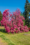 Giant Rhododendrons of Burien 8. The state flower of Washington grows big in Burien, Washington stock photos