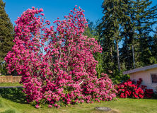 Giant Rhododendrons of Burien 7. The state flower of Washington grows big in Burien, Washington royalty free stock images