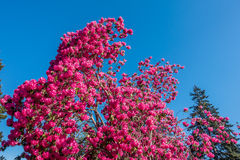Giant Rhododendrons of Burien 9. The state flower of Washington grows big in Burien, Washington royalty free stock image