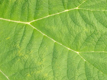 Giant Rhubarb leaf Stock Images