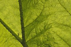 Giant rhubarb, leaf with structures Stock Images