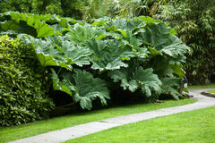 Free Giant Rhubarb Plants Stock Photos - 26359733