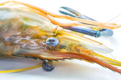 Giant River Freshwater Prawn Close Up IV Stock Images