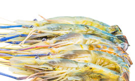 Giant River Freshwater Prawn VII Stock Image
