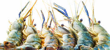 Giant River Freshwater Prawn VIII Stock Photography