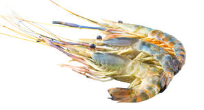 Giant River Freshwater Prawn XI Royalty Free Stock Photos