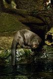 Giant River Otter Stock Photo
