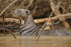 Giant river otter in the nature habitat Royalty Free Stock Photo