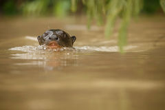 Giant river otter in the nature habitat Royalty Free Stock Photos