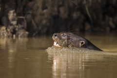Giant River Otter, Pantanal, Mato Grosso, Brazil royalty free stock photography