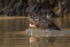 Giant River Otter, Pantanal, Mato Grosso, Brazil royalty free stock images