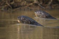 Giant River Otter, Pantanal, Mato Grosso, Brazil stock photography