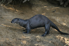 Giant-river otter,  Pteronura brasiliensis Royalty Free Stock Photo