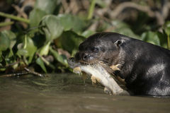 Giant-river otter,  Pteronura brasiliensis Royalty Free Stock Photos