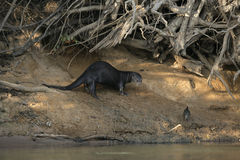 Giant-river otter,  Pteronura brasiliensis Stock Photo