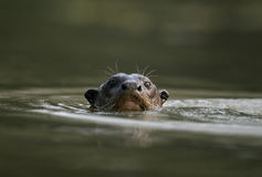 Giant-river otter,  Pteronura brasiliensis Stock Images