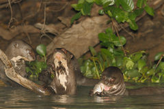 Giant River Otters at lunch. Giant River Otters eating a fish. Pantanal, Brazil Stock Photography
