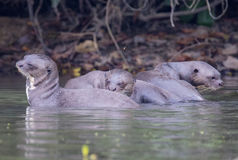 Giant River Otters. Playing in Lake Sandoval in the Peruvian Amazon Royalty Free Stock Photos