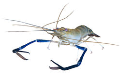 Giant river prawn cutout royalty free stock image