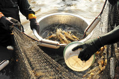 Giant river prawn (Macrobrachium rosenbergii) Stock Image