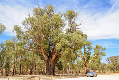 Giant River Red Gum Tree - Orroroo stock images