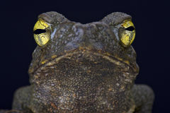 Giant river toad (Phrynoides aspera) Stock Photography