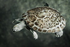 Giant River Turtle Stock Photography