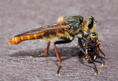 Giant Robber Fly with Bee Prey Stock Image