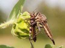 Giant Robber Fly feasting on a grasshopper Royalty Free Stock Photography