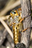 Giant robber fly (proctacanthus rodecki) Royalty Free Stock Image