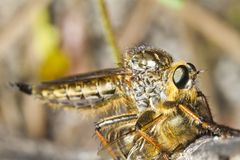 Giant robber fly (proctacanthus rodecki) Stock Images