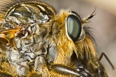 Giant robber fly (proctacanthus rodecki) Stock Image