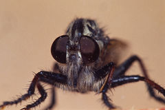 Giant Robberfly Portrait. Portrait of a Giant Robberfly, about 1 in length Stock Image