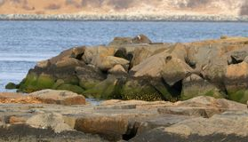 The giant rocks of the inlet jetties stock photo